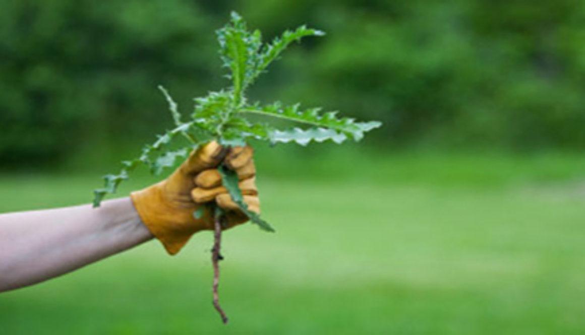 pulling weeds2 1